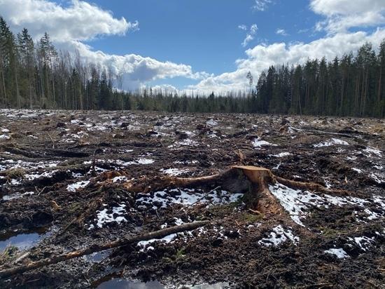 Разрешение на уничтожение: под Вырицей вырубают уникальный сосновый лес