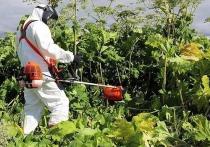 В Серпухове объявили войну опасному растению