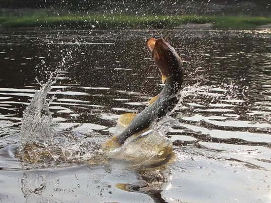 В былые годы в притоках Амура часто можно было увидеть такую картину — таймень, выпрыгивающая из воды. Сейчас гигантская рыбина в тех краях — редкий гость