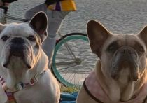 Полиция Лос-Анджелеса арестовала пятерых человек по делу о похищении собак Леди Гаги
