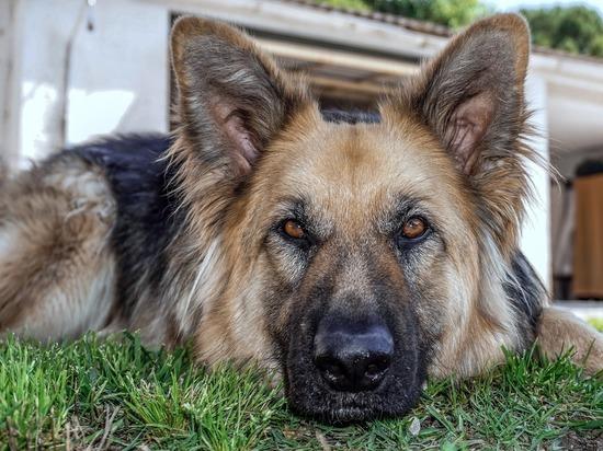 В Кировской области в хорошие руки отдадут собаку-полицейского