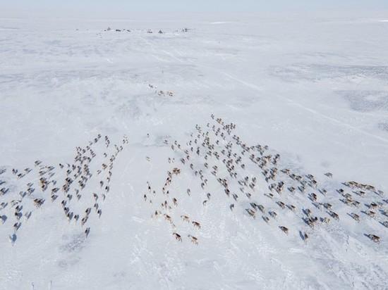 Кочевники Ямальского района разыскивают в тундре разбежавшихся из-за голода оленей