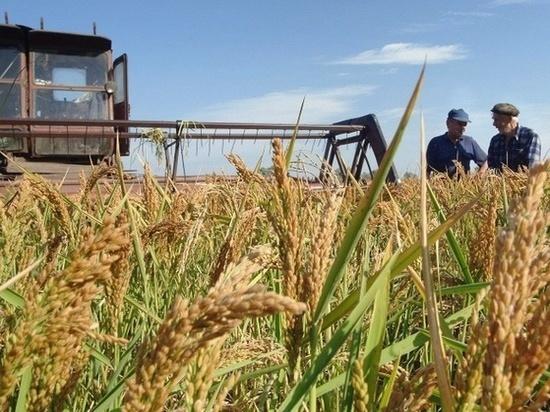 В Дагестане собрали рекордный урожай риса