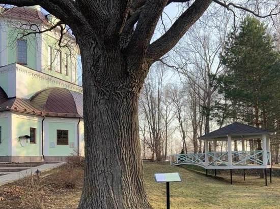В Подмосковье нашли самое главное дерево: пережило Наполеона