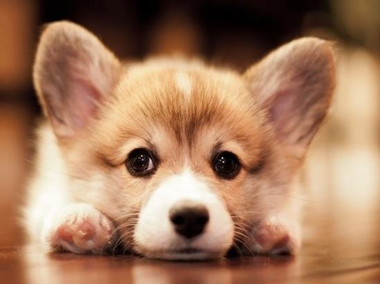 Дважды обманутая жительница Чувашии лишилась 44 тысяч рублей при покупке щенка корги