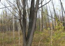 Омская комиссия по сносу и обрезке деревьев одобрила вырубку более 4 тыс. насаждений
