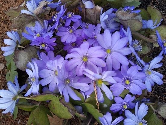 В йошкар-олинском ботаническом саду распустились первоцветы