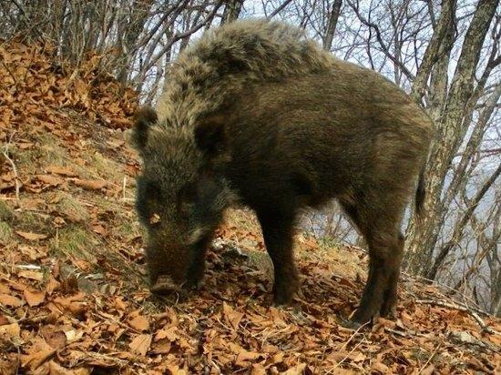 Госинпекторы задержали браконьеров, убивших кабана в заповеднике Приморья