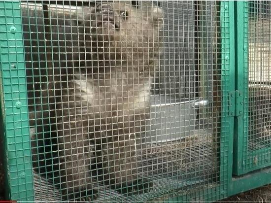Медвежонка, мать которого убили под Челябинском, уже выхаживают в Хабаровске