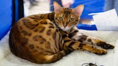 Породистые кошки с международной выставки покорили жителей Петрозаводска