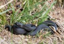 В Алтайском крае в начале майских выходных заметили змею, сильно напоминающую ядовитую гадюку.