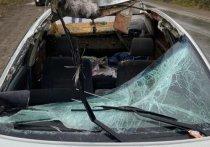 Под Красноярском водитель и пассажир чудом выжили после прыгнувшего на машину лося