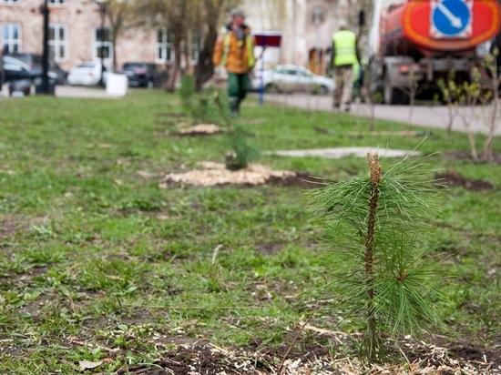 В сквере защитников Отечества в Калуге высадили кедры