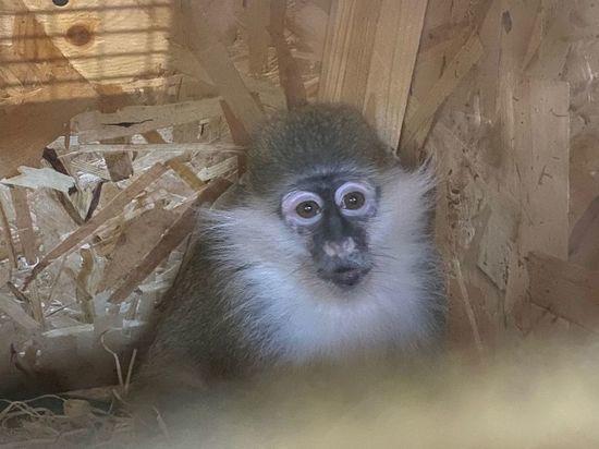Бизнесмену из Ленобласти самолетом прислали зеленую мартышку из Екатеринбургского зоопарка