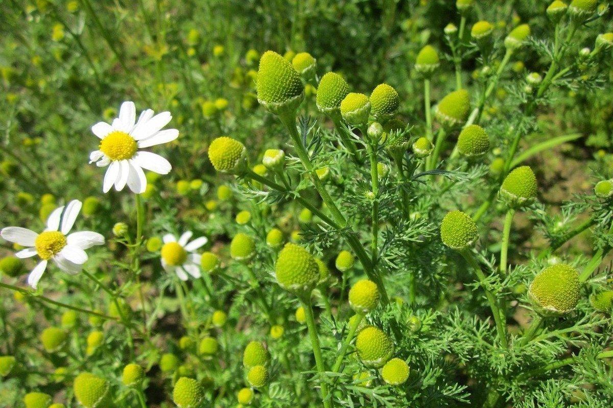 Вниманию костромских дачников: в этом сезоне можно погореть на ромашках