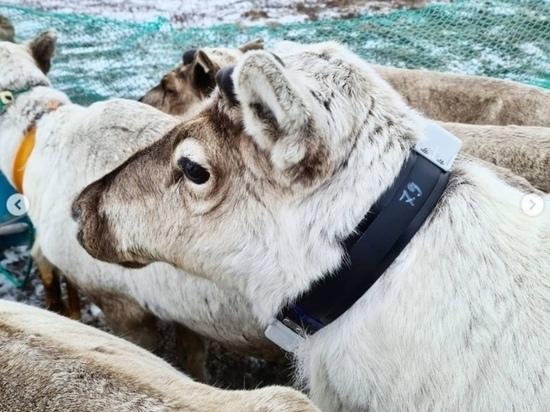 Ученые ЯНАО исследуют питание домашних оленей в условиях Арктики