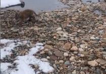 «Иди лови нерпу»: дрессировщик показал тигрятам Байкал