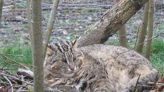 Полицейские спасли редкого енота и лесного кота в Приморье