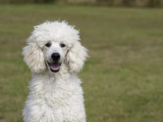 Пудель и колли оказались в рейтинге самых агрессивных собак