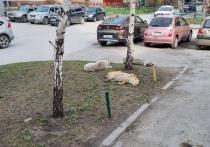 Бездомные собаки напали на 4-летнего ребенка в левобережье Новосибирска
