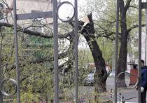 От сильного ветра в Москве в четверг днем стали падать деревья