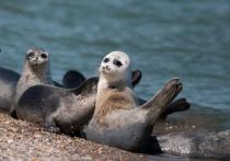 Более 150 тушек краснокнижных тюленей было найдено на дагестанском побережье Каспийского моря