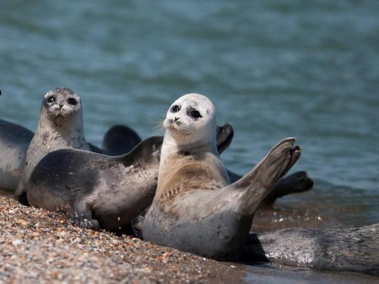 Гибель тюленей в Дагестане привела ученых в замешательство