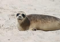 Минприроды назвало вероятную причину массовой гибели нерп в Каспийском море, порядка 150 туш которых были найдены на дагестанском побережье
