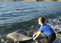 Вечером 5 мая у берегов Анапы обнаружили двух мёртвых самцов дельфинов