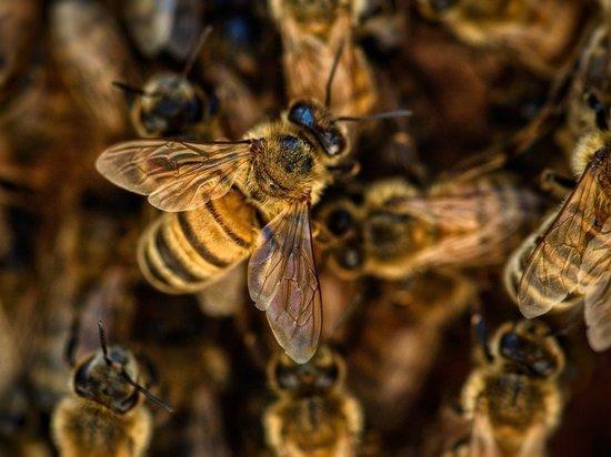В Нидерландах ученые научили пчел выявлять коронавирус в крови человека