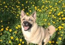 Женщина ищет донора, которым может стать крупная собака весом более шестидесяти килограммов