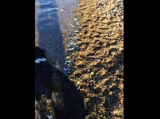 Анчоус массово выбросился на берег во Владивостоке