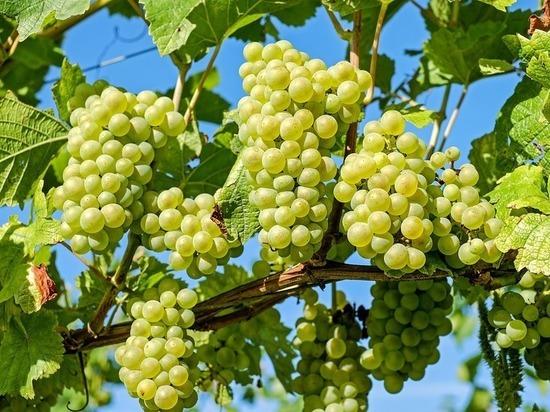 Германия: Из-за холодной весны ожидается низкий урожай винограда