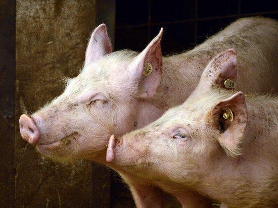 Фура со свиньями перевернулась возле воинского мемориала в Псковской области
