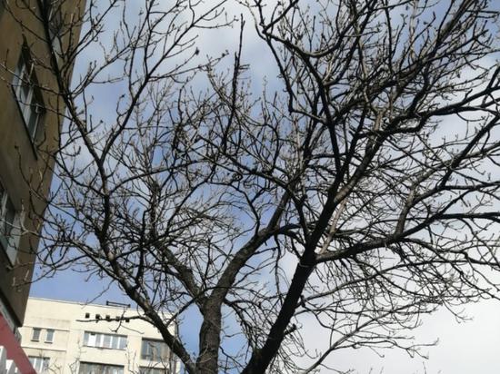 Вековой ясень в центре Хабаровска может стать главным деревом страны