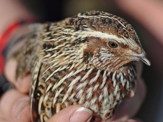 Выявлено сходство между птичьим и человеческим сердцем