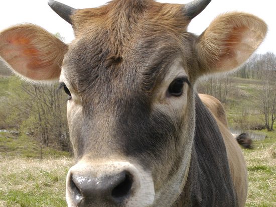 Индусы решили защищаться от коронавируса навозом коров