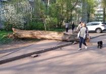 На тротуар в Твери упало старое дерево