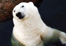 Первые в этом году полевые исследования популяции белых медведей в российской Арктике завершили специалисты  Института проблем экологии и эволюции им