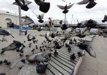 В Москве зафиксирована странная гибель голубей