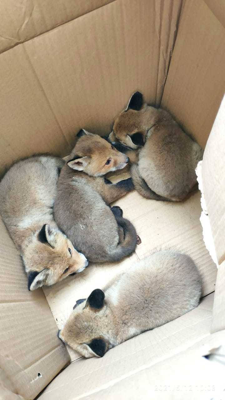 В столичном детском саду нашли целое семейство лис
