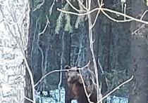 Некрупного медведя за последние дни неоднократно встречали жители Костомукши.