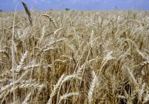 14 мая на «Журавлиной родине» в Талдоме состоялся традиционный фестиваль по засеву поля пшеницей для вернувшихся из дальних странствий журавлей