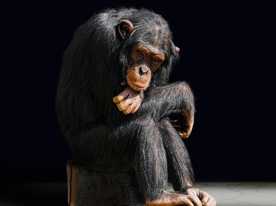 В Китае заявили об острой нехватке обезьян для опытов