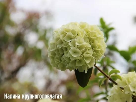 В сочинском «Дендрарии» начался сезон цветения «белых» деревьев