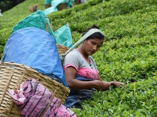 Эксперты предсказали подорожание индийского чая из-за пандемии