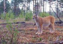 В «Брянском лесу» в фотоловушку попала рысь