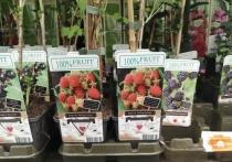 Малина по праву занимает почетное второе место в рейтинге любимых ягод после клубники, что неудивительно - ягода с тонким вкусом и нежной текстурой хороша как в свежем, так и в перетертом с сахаром и заготовленном на зиму виде, а о чудесных свойствах малинового варенья при простуде ходят легенды
