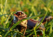 Нашествие майских жуков на сады и огороды наблюдается в Московской области