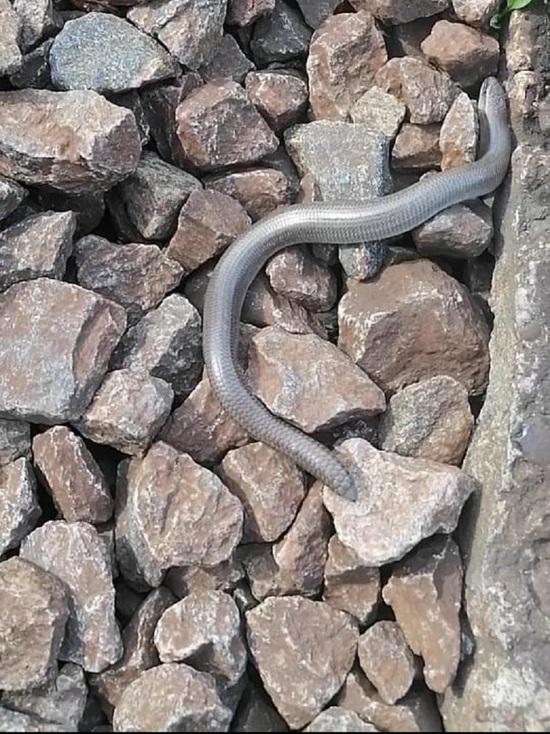 Редкие рептилии появились в окрестностях Серпухова